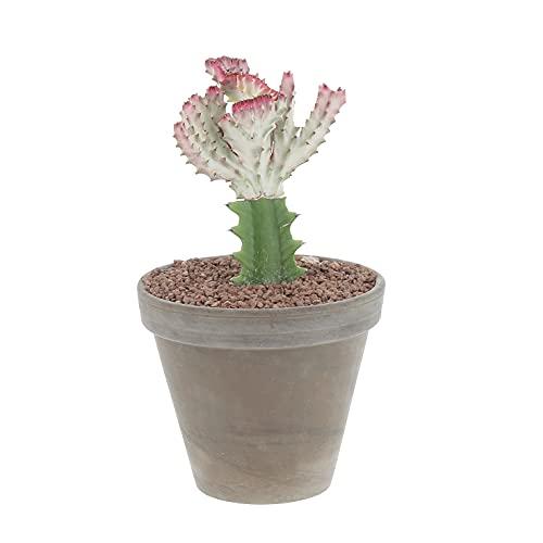 KENTIS - Euphorbia Lactea Crestata - Cactus - Piante Grasse - H 30-45 cm Vaso in Terracotta Ø 18 cm