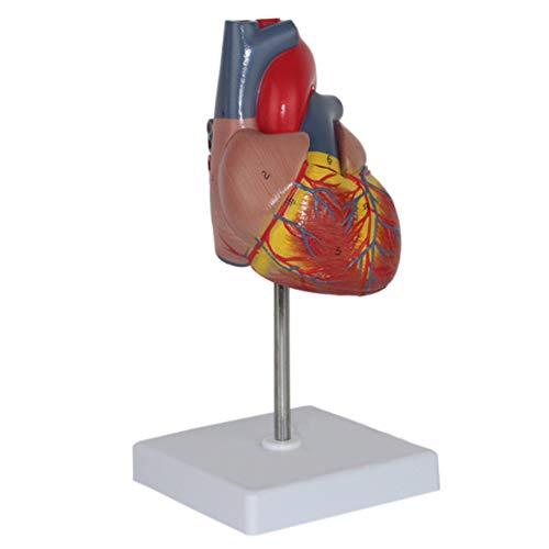 XDXDO 1: 1 Menschliches Herz Modell - echtes Leben Größe Herz Anatomisches Modell, Anatomisches Lehrmodelle für Wissenschaft Klassenzimmer und Kardiologie-Studie