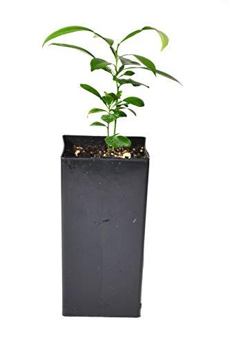 Bio-Saatgut Nicht nur Pflanzen: sAgainted Yuzu - VAR. austera - 100 Samen 100 Samen es mit der Fähre nach 8+
