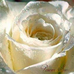 2015 Nouveaux rares 50 Pcs Rose Graines Fleurs Violet Noir Blanc Rouge Bleu / Belle Rose Graines Bonsai