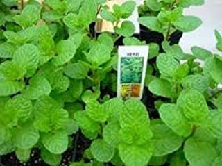 LIVE, KY COLONEL SPEARMINT PLANT, ORGANICALLY GROWN IN 3.5
