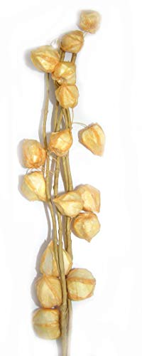 Lampionblumen Zweig Physalis Exotisch 60 cm Deko tolle Tischdeko Herbstdeko 5802