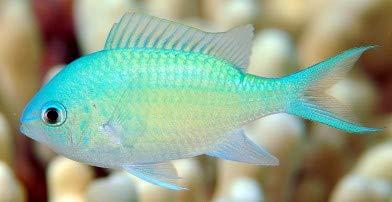 デバスズメダイ 50匹セット 海水魚[生体] …