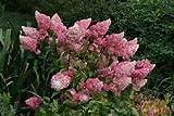 SAGEAWAY Semilla Hydrangea paniculata Vainilla Fraise Fresa Flor del Hydrangea