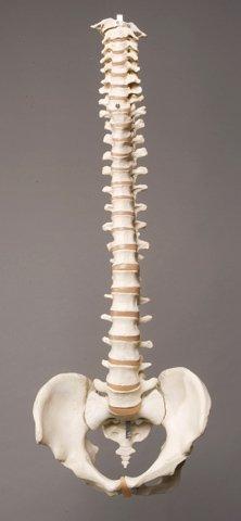 Squelettes et Spine Plus SM310D