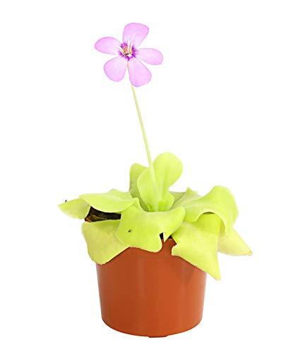 Yukio Samenhaus - 50pcs Rarität Venusfliegenfalle Fleischfressende Pflanze natürlicher Mückenfänger, Moorbeetpflanze Schlauchpflanze Sonnentau Zimmerpflanze Blumensamen winterhart mehrjährig