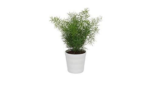 Zimmerpflanze Asparagus Sprengeri Zierspargel Höhe ± 25cm 12cm Durchmesser im trendy Topf (Weiß)