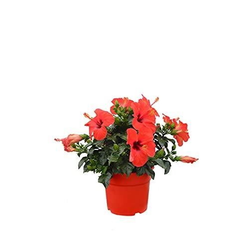 Blume von Botanicly – Eibisch –...