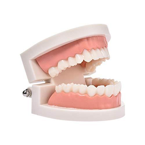 Zahnmodell Dentalmodell, Standard Dentallehrung, Zahnarzt Erwachsene Zähne Standard Unterrichtsmodell für Kinder Mundpflege Lehrmittel