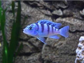 【熱帯魚・アフリカンシクリッド】 コバルトブルーゼブラシクリッド ■サイズ:3cm〜4cm (5匹)