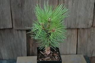 mikawa japanese black pine