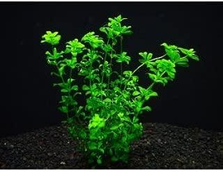 パールグラス (5本) ◆ライトグリーンの小さな葉が美しい◆ 無農薬