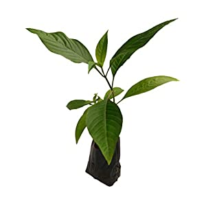 Shop 360 Garden Rare Herbal Plant (Herb for cold asthma cough
