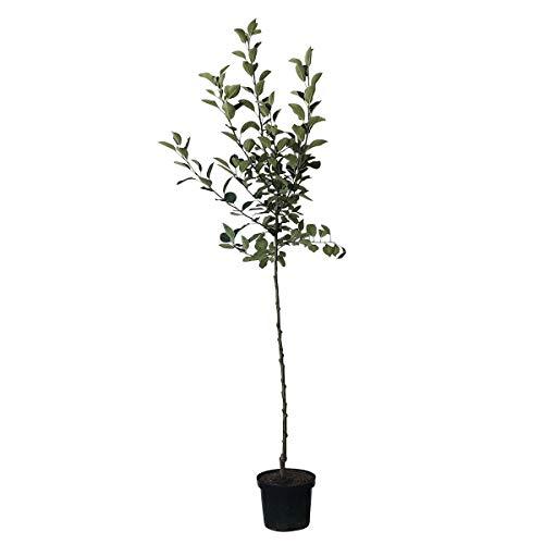 Müllers Grüner Garten Shop Apfelbaum Pinova(S) robuster Lagerapfel Winterapfel Halbstamm 170-200 cm 10 Liter Topf Unterlage M7