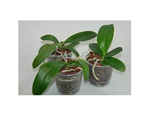 Stk - 6x Phalaenopsis Jungpflanzen Sortiment Meristem Sorte Orchidee OWD250 - Seeds Plants Shop Samenbank Pfullingen Patrik Ipsa