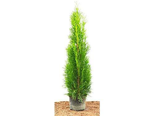 Edel Thuja Smaragd immergrüner Lebensbaum Heckenpflanze Zypresse im Topf gewachsen 60-80 cm (1 Stück)
