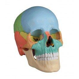 Modello di Cranio Colorato in 22 Parti Magnetico  Erler Zimmer 4708