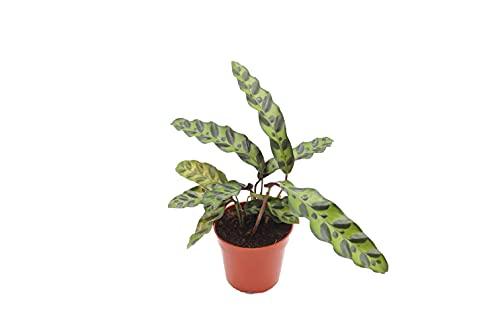 Calathea Rattlesnake Lancifolia - 4'' from California Tropicals