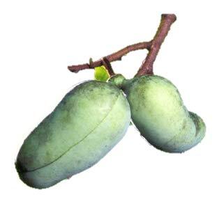 Pawpaw fruit tree seedling Northern Hardy Exotic edible banana taste LIVE PLANT