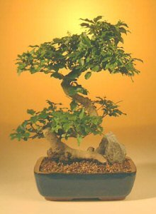 Flowering Ligustrum Bonsai Tree - Large Curved Trunk Style