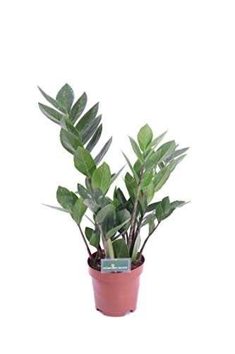 Zamioculcas vaso 12 cm pianta da interno pianta d'appartamento pianta ornamentale venduto da eGarden.store