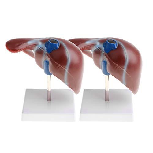 CUTICATE 2 Stück 1: 1 Lebensgroße Anatomie Modell des Mensch Abnehmbare Normalen Leber für Demonstrationshilfe