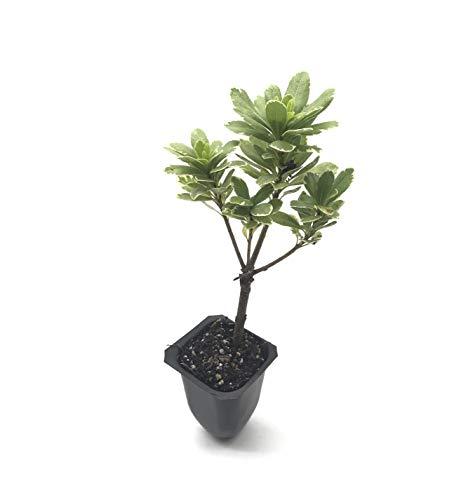 Variegated Pittosporum - 10 Live 2 Inch Plants - Pittosporum Tobria 'Variegatum' - Border Accent Hedge Plant