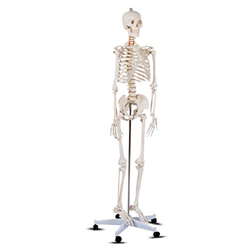 Anatomy Medical Skeleton