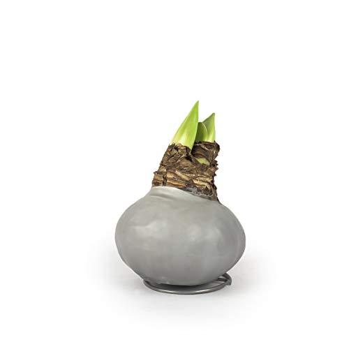 Echte Amaryllis gewachst/WAX -Pastel- behandelte Blumenzwiebel - lange haltbar, pflegeleichte Zimmerpflanze mit großer Blüte - Geschenkidee! (WAX1)