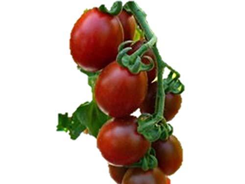 世界希少な 紫ローズミニトマト 種 6粒 新品種