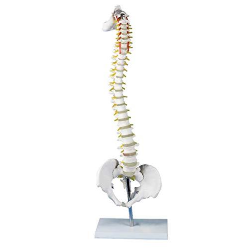 BBYT Modelo de Columna Vertebral - Tamaño Natural Modelo de médula espinal con Vértebras Nervios Arterias, Columna Lumbar - médico Enseñando Simulador Esqueleto Coleccionables