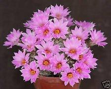 Mammillaria shumannii, floraison rare exotique coussin graines de cactus 50 graines