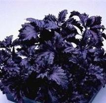 500 DARK OPAL BASIL (Purple Ruffles) Ocimum Basilicum HERB Flower Seeds by Seedville