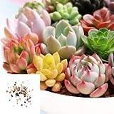 Portal Cool 8: 100 Semillas Semillas mixtas Suculentas Plantas Piedras Vivas casera de las semillas de las plantas de jardín
