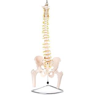 66fit Flexible Vertebral Column - Pelvis & Femur Head - Medical Educational Training Aid