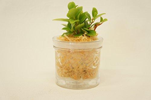 【純国産ひのきを使用した観葉植物。ひのきの香りに癒されます。自動給水だからお世話が簡単です】 観葉植物 ハイドロカルチャー 自動給水器 ひのき