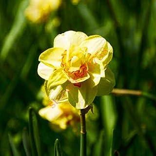 AGROBITS semillas 100pcs narciso (no bulbos de narcisos), semillas de flor del narciso plantas acuáticas, flor perenne para las mini plantas de jardín: 18