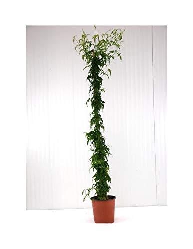 Pianta Gelsomino Officinale Eretto su Canna, Vaso 18cm