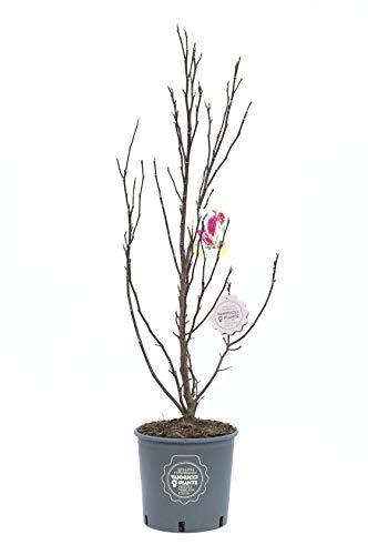 Magnolia 'Susan', Magnolia da fiore, Pianta vera in vaso, Pianta da terrazzo