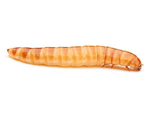 Buffalowürmer 1 Liter | Futterinsekten