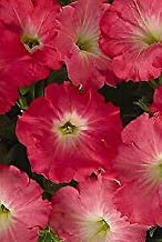 Details About Petunia-Spreading Easy Wave Rosy Dawn 100 Seeds Need More? Ask