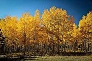 100PCS Quaking Aspen Trees Seeds - Populus tremuloides USA - BKSeeds Seeds for Planting plantskydd