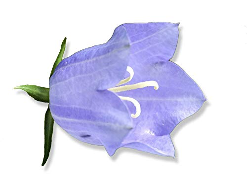 100 graines Fleurs - CAMPANULE - Campanula