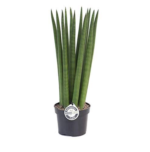 Blumen-Senf Bogenhanf / Sansevieria Cylindrica Straight 40 cm