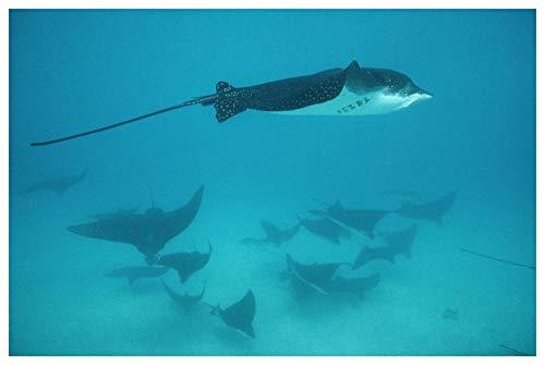 Obras de Arte Italia Spotted Eagle Ray escolarización en grupo protector, Islas Galápagos, Ecuador-Arte de papel 62'x42'