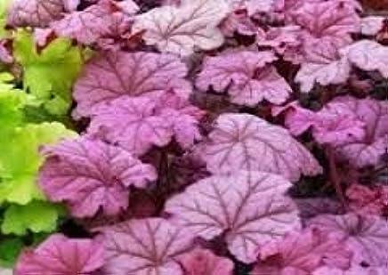 Heuchera Delta Dawn Plant in 17 cm Pot with Fantastic Foliage