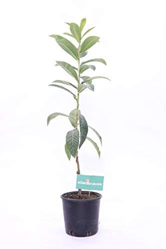 Pianta di Nespolo del giappone vera da frutto già innestato Altezza REALE 110cm