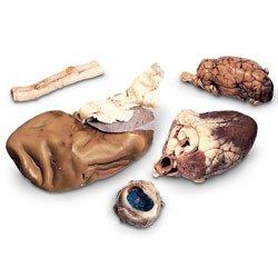 Nasco Mammalian Anatomy Survey Set - Dissection & Science Education Materials - LS03497