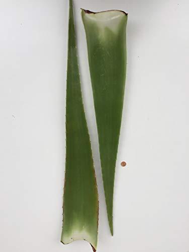 Bio Aloe Vera Blatt aus Spanien (2 Blätter)