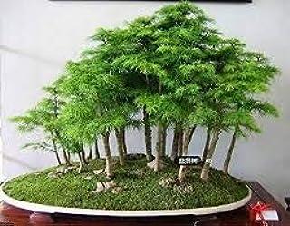 30 semillas de árboles bonsai de enebro flores en maceta bonsai oficina de purificar el aire absorben gases nocivos